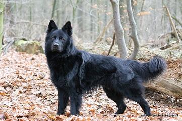 Als jij iedere hond mocht hebben... - pagina 2 | HondenForum: http://www.hondenpage.com/hondenforum/207639/1/als-jij-iedere-hond-mocht-hebben....php
